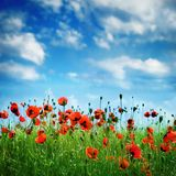 Papaveri di fioritura sopra cielo blu e la nuvola Immagine Stock Libera da Diritti