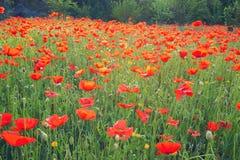 Papaveri di fioritura - una campagna del Cipro Fotografia Stock