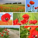 Papaveri di rosso del collage Immagini Stock Libere da Diritti