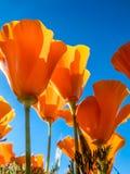 Papaveri dorati di California contro un cielo blu Fotografia Stock Libera da Diritti