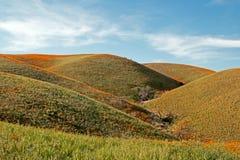 Papaveri dorati di California nell'alto deserto di California del sud Fotografia Stock Libera da Diritti