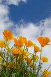 Papaveri dorati sotto un cielo di estate Fotografia Stock Libera da Diritti