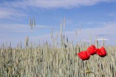 Papaveri e giacimento di grano rossi Immagine Stock