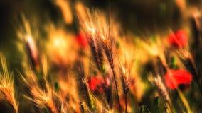 Papaveri e grano Fotografia Stock Libera da Diritti