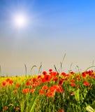 Papaveri e raggi di sole meravigliosi di divertimento. Fotografie Stock