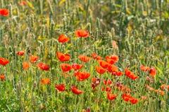 Papaveri germoglianti e di fioriture Immagine Stock