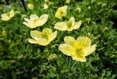 Papaveri gialli germoglianti e di fioriture dalla fine Fotografie Stock Libere da Diritti