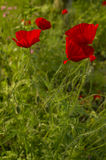 Papaveri nell'erba Fotografia Stock Libera da Diritti