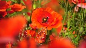 Papaveri rossi del bello campo con il fuoco selettivo Papavero da oppio Droghe naturali stock footage