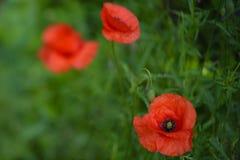Papaveri rossi Papaveri rossi Fiore selvaggio nel prato Fotografie Stock