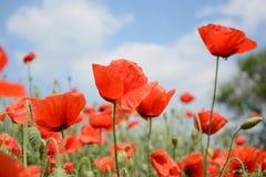 Papaveri rossi selvatici che fioriscono in primavera nel prato su un fondo di cielo blu con le nuvole, per la pubblicità, insegna fotografia stock