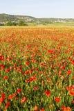 Papaveri rossi selvatici di estate nel giacimento di grano Immagine Stock