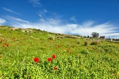 Papaveri rossi su un campo verde fotografie stock