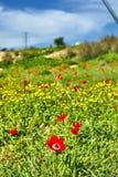 Papaveri rossi su un campo verde immagini stock