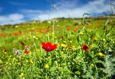 Papaveri rossi su un campo verde immagini stock libere da diritti