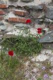 Papaveri rossi sulla parete antica Immagine Stock