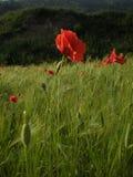 Papaveri rossi在un campo di grano 库存图片