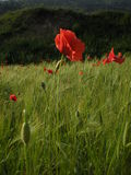 Papaveri rossi in un campo di grano stock image