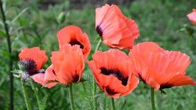 Papaveri rossi - un simbolo della vittoria e della molla, ondeggiante nel video del vento archivi video