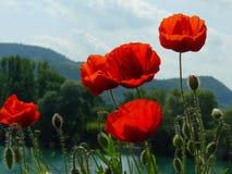 Papaveri sopra le colline al fiume di Danubio, Ungheria Fotografie Stock Libere da Diritti