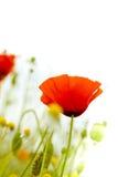 Papaveri su bianco - fiori Immagini Stock