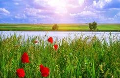 Papaveri sul fondo verde del campo, nuvole blu nell'alba Fotografie Stock Libere da Diritti