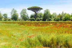 Papaveri sul prato con il pino in Toscana immagine stock