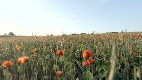 Papaveri in un campo su un pomeriggio di estate stock footage