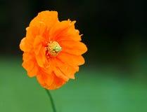 Papavero arancio Fotografie Stock Libere da Diritti