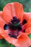 Papavero arancione Fotografia Stock Libera da Diritti