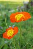 Papavero arancione fotografie stock libere da diritti