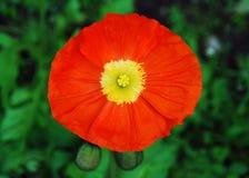 Papavero arancione, Stamens gialli fotografia stock libera da diritti