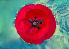Papavero bagnato nell'acqua Fotografia Stock Libera da Diritti