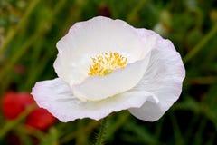 Papavero bianco 01 di pace fotografia stock libera da diritti