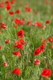 Papavero che coltiva, natura, concetto di agricoltura - agricoltura industriale dei fiori del papavero - vicino su dei papaveri r Immagine Stock Libera da Diritti