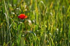 Papavero che fiorisce fra i giovani cereali verdi immagine stock