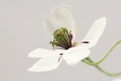 Papavero coltivato Fotografia Stock Libera da Diritti
