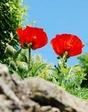 Papavero coltivato Fotografia Stock