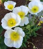 Papavero coltivato delicato che fiorisce nel giardino Fotografia Stock
