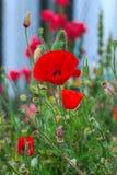 Papavero da oppio, fiori Fotografia Stock Libera da Diritti