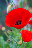 Papavero da oppio, fiori Fotografie Stock