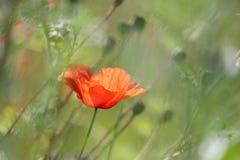 Papavero del fiore selvaggio Fotografia Stock Libera da Diritti