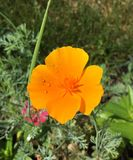 Papavero dell'arancia selvatica Immagini Stock