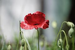 Papavero della primavera rossa Fotografia Stock Libera da Diritti