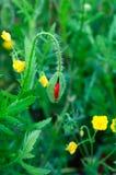 Papavero di fioritura Fotografia Stock Libera da Diritti