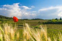 Papavero di fioritura Immagine Stock Libera da Diritti
