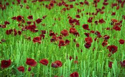 Papavero di fioritura con le foglie verdi, natura naturale vivente del fiore fotografie stock