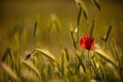Papavero di fioritura su un giacimento di grano Immagine Stock Libera da Diritti