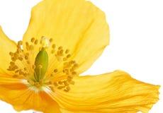 Papavero di lingua gallese o di giallo su bianco Immagini Stock Libere da Diritti