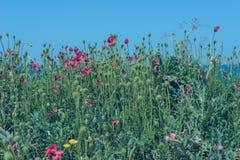 Papavero di rosso della natura del paesaggio Fotografia Stock Libera da Diritti